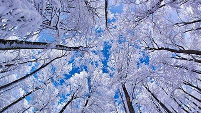 צמרות כחולותעצים