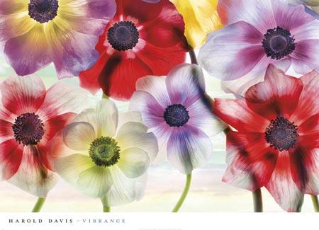שוקק חייםפרחים, צבעוני, כלניות, צילום, פרח, אדום , סגול, לבן , צהוב