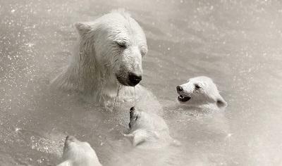 דובים לבניםדובים לבנים