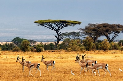 אנטילופות antelopesאנטילופות antelopes