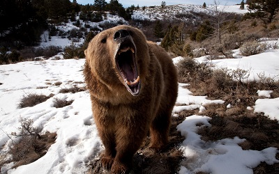 דב  bear  הדב   bear grin grass snow aggression