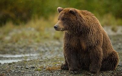 דב bear הדב   bear sitting thick   דב bear