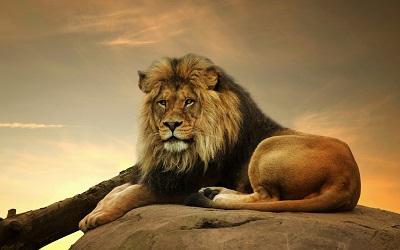 אריה על סלע lion_big_lion_on_stone