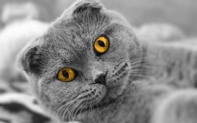 חתול cat briton faceחתול cat briton face
