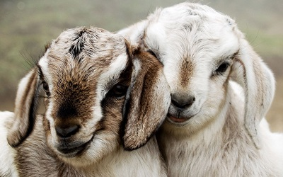 כבשים couple beautiful lambsכבשים couple beautiful lambs