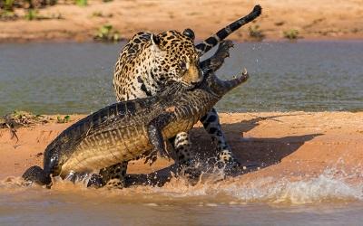 קרב קרוקודיל ויגואר crocodile jaguar קרוקודיל ויגואר crocodile jaguar hunting mining beach