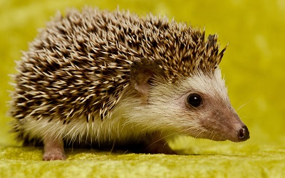 קיפוד Cute Hedgehogקיפוד Cute Hedgehog