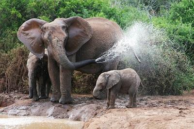 פילים  elephants_elephants_bathing_female_elephant_calves_water פילים