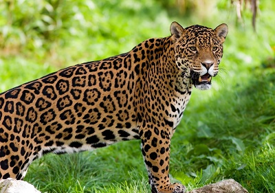 יגואר jaguarנמר jaguar wild cat predator יגואר jaguar