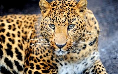 נמר_leopard_muzzle_eyes   נמר