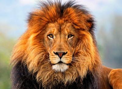 אריה אריה lion