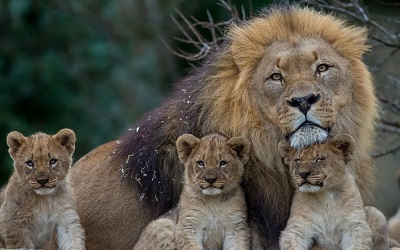 משפחת אריותאריה lion     _lion_lioness_young_family_predators  משפחת אריות