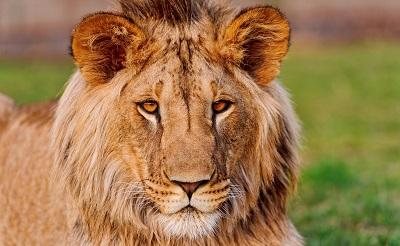 אריה אריה lion   _lion_lioness  משפחת אריות