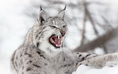 שונר lynx שונר lynx