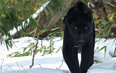 פנתר pantherפנתר panther  נמר