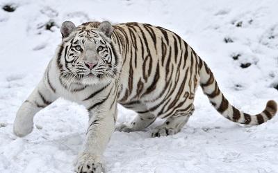 טיגריס סיבירי נמר _tiger_albino_snow_winter