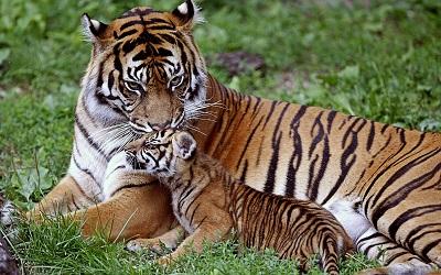טיגריס tigerנמר  _tiger_cub_down_family_care_baby_big_cat  נמר