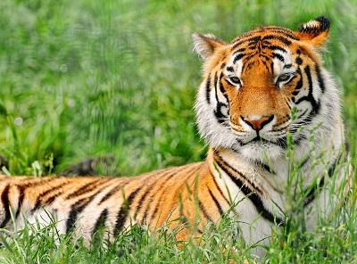 טיגריס tiger  נמר  _tiger_cub_down_family_care_baby_big_cat  נמר