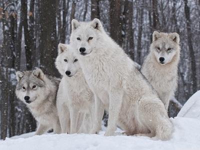 white wolves זאבים לבנים