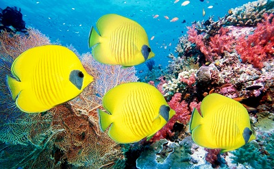 דגי פרפר yellow butterfly fishדגי פרפר yellow butterfly fish