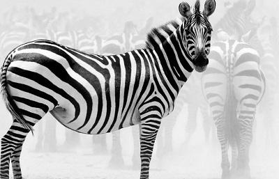 Zebra זברה Zebra זברה   _zebra_beasts_animals_africa_stripes_ultra