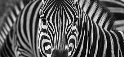 זברה  zebra_stripes Zebra זברה  zebra_stripes