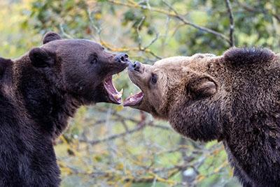 שני דוביםדב  bear   שני דובים  הדב