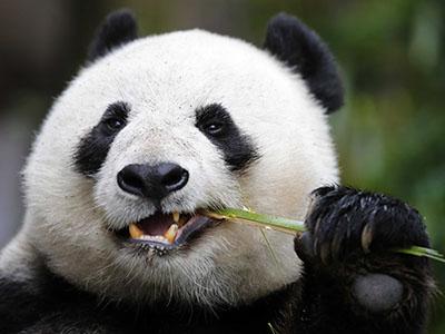 פנדהדב  bear   פנדה  סין  הדב