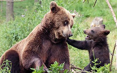 דובה וגורדב  bear   דובה וגור  הדב