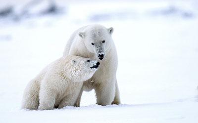 דובים לבניםדב  bear   דובים לבנים  הדב