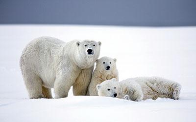 משפחה של  דובים לבניםדב  bear   דובים לבנים  הדב