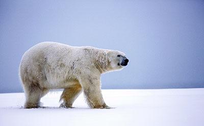 דב  bear   דובים לבנים  הדב