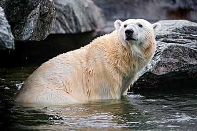 דב לבןדב  bear   דובים לבנים  דב לבן  הדב