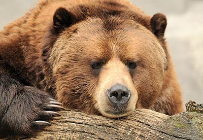 דב דב  bear   דובים לבנים  דב לבן   הדב