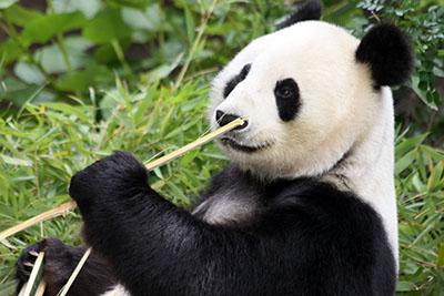 פנדה דב  bear   פנדה  סין  הדב