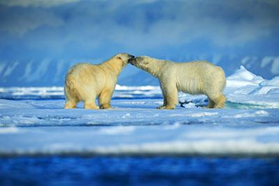 דובי הקוטבדב  bear  הדב  דובים לבנים  דב לבן  דובי הקוטב