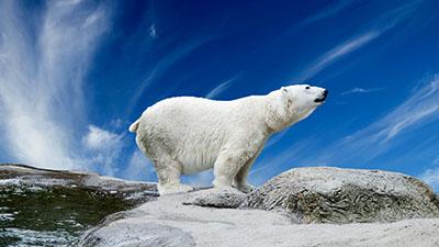 דב לבן -  white bearדב הדב bear   דובים לבנים  דב לבן  דובי הקוטב    _white_bear