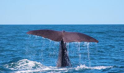 ליוויתן    Sperm-Whaleליוויתן    Sperm-Whale