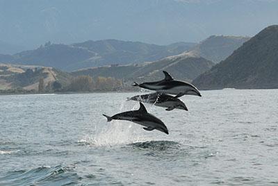 דולפין  דולפין  דולפינים   dolphin