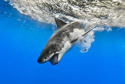 כרישכריש    ליוויתן_כריש