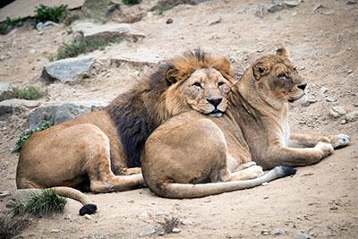אריות  אריה   _Big_cats_Lions