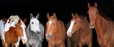 סוס - Horseסוסים - Horses   סוס 129 סוס - Horse