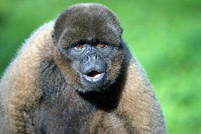 קוף  הקופים -  monkeys-