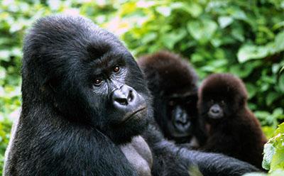 גורילהגורילה  קוף  הקופים -  monkeys-