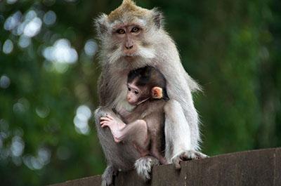 קוף   קוף  הקופים -  monkeys-
