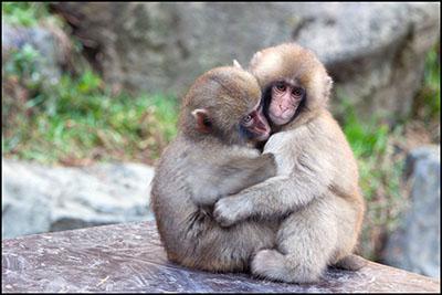 קופים קוף  הקופים -  monkeys-