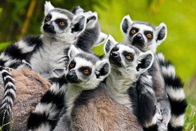 לאמורים  קוף  הקופים -  monkeys-