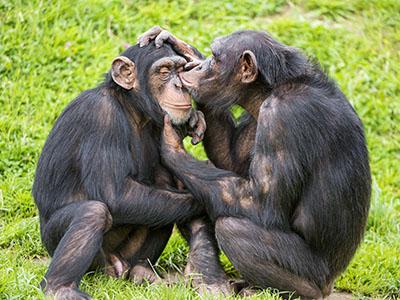 שימפנזהשימפנזה  קוף  הקופים -  monkeys-