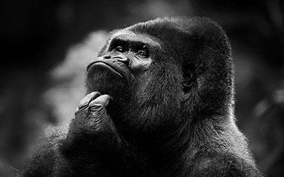 גורילה  הקוף   _chimpanzee_monkey_face
