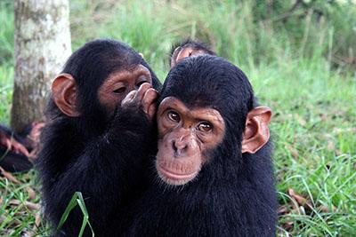 שימפמנזה - תקשורת   שימפמנזה - תקשורת  הקוף   _Chimpanzees  _communicating